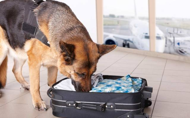 Airport canine. Dog sniffs out drugs or bomb in a luggage.\n