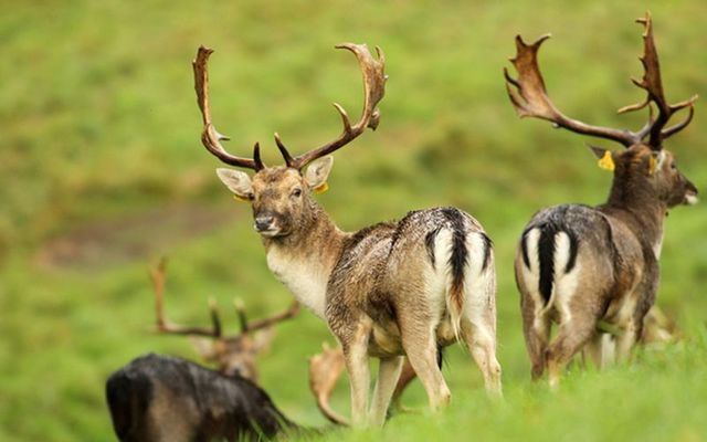 Fallow Deer in the Phoenix Park in Dublin on this autumn day.