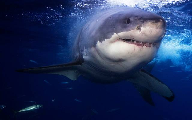 How would you react if you heard that there was a Great White Shark swimming in the waters that you were just about to swim in?