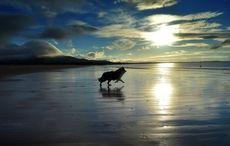 Thumb_irish_sheepdog_trial_best_getty