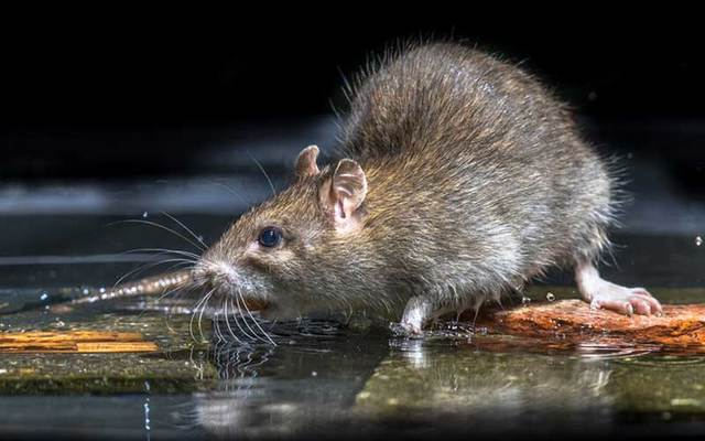 An infestation of large rats is causing problems for residents in Downpatrick, Co. Dawn.