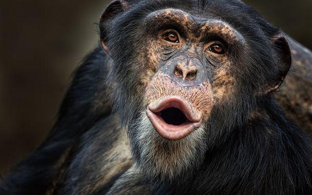 A chimpanzee escapes its enclosure at the Belfast Zoo.