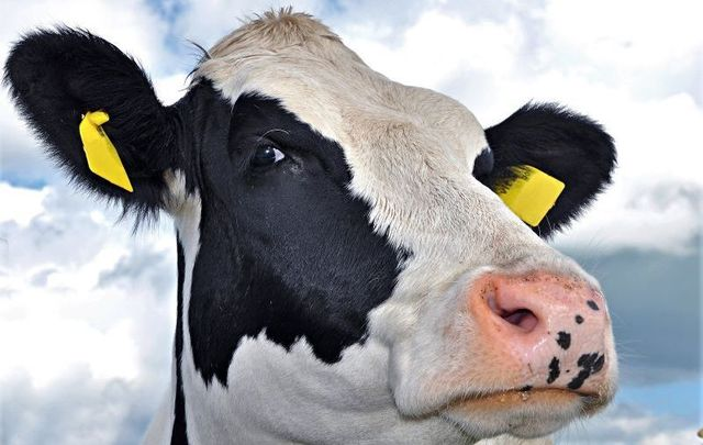 In the moo-d for love? New app lets farmers \'swipe\' through potential cattle mates.