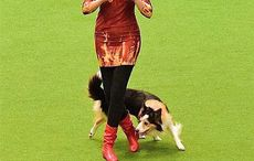 WATCH: Irish dancing dog wins at Crufts competition ahead of St. Patrick's Day