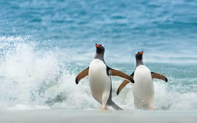 Gentoo penguins.