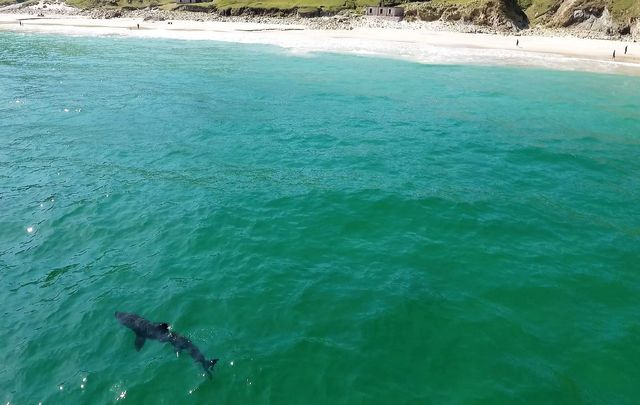 A 25-foot basking shark has been spotted almost daily in the waters at Keem Bay.