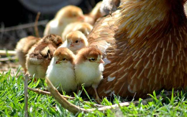 Hen and chicks on grass (Stock Photo).