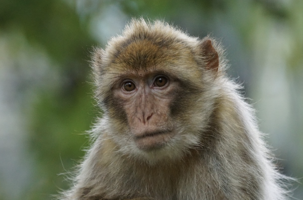Barbary ape: The mysterious archaeological finding, a Barbary ape\'s skull, was unearthed at Navan Fort, an early Irish royal site in County Armagh.