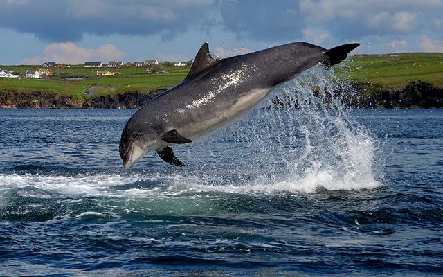 The wonderful Fungie the Dolphin, in Dingle.