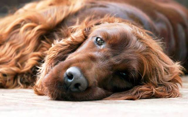 An Irish setter gave birth to 16 puppies by caesarean.