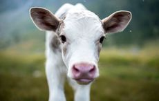 Thumb_calf_gettyimages