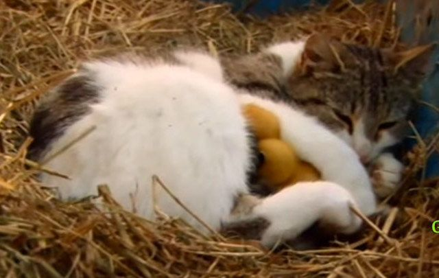 A cat and three ducklings developed a most special relationship on an Irish farm.