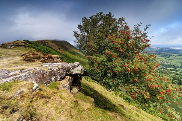 Which tree are you according to the Celtic calendar? Could you be Rowan?