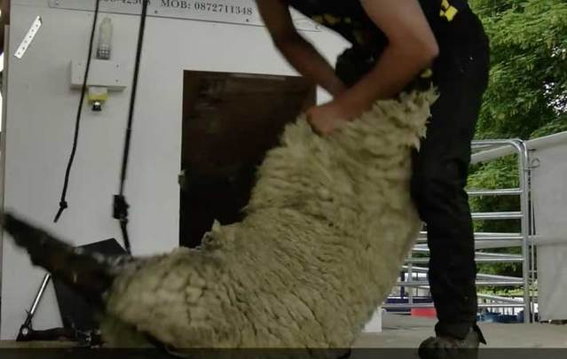Ireland has some of the fastest sheep shearers in the world.