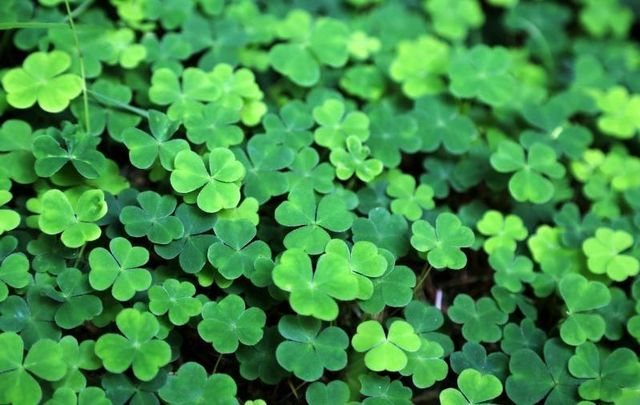 Is everything we know about the shamrock a lie?