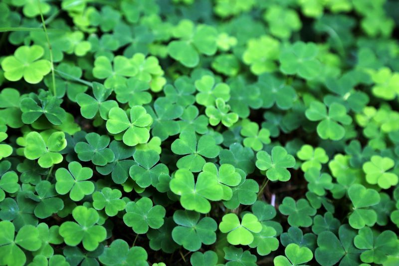 The Real Meaning Behind The St Patrick S Day Shamrock