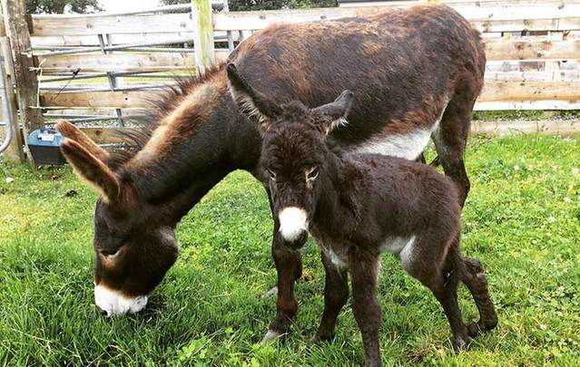 Little Timmy at the Donegal Donkey Sanctuary is so close to getting the surgery he needs to walk properly.