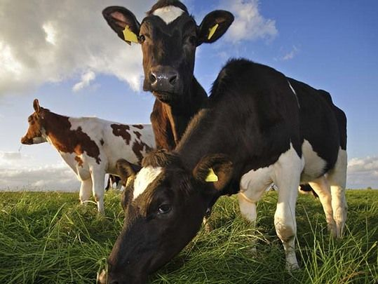 Ireland's beef trade could be dealt a harsh blow as 90% of meat is exported abroad.