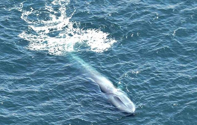 Blue and fin whales photographed within miles of each other just off the coast of Clifden.