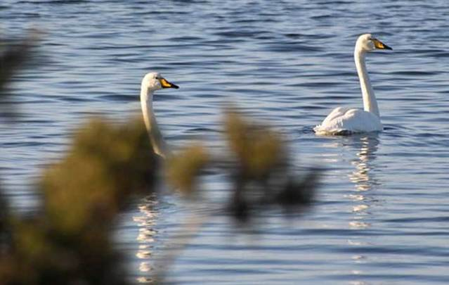 The swans at Lough Funshinagh are left without a home when the lake disappears.
