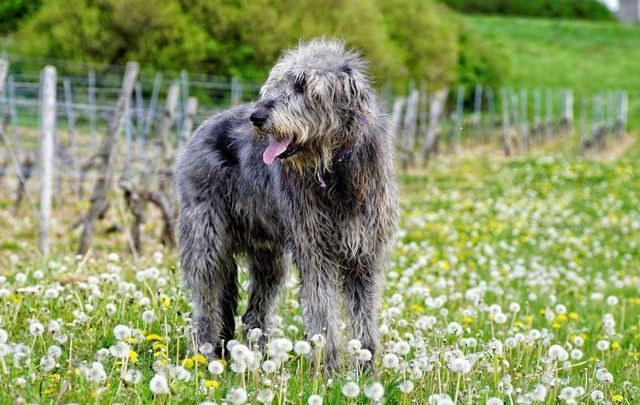 The Irish Wolfhound: From how Oliver Cromwell saved the massive breed, to the fighting alongside men in battle.