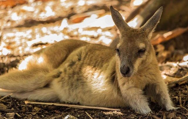Lambay Island is home to birds, cattle, deer, four humans, and red-necked wallabies. How did they get there?