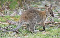 Thumb_mi-new-wallaby-ireland-lambay