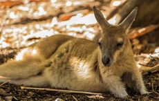 Thumb wallabie lambay island getty