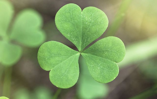 """St. Patrick is said to have used the three-leaved plant to explain the Holy Trinity (Father, Son, and Holy Spirit) to the pagan Irish."""