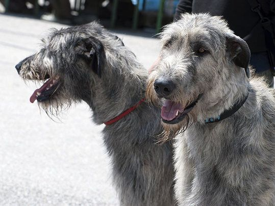 Irish wolfhounds are among the most beloved Irish dog breeds.