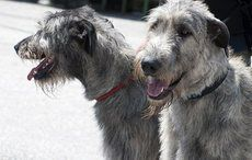 Thumb_mi-wolfhounds-dogs-irish-getty