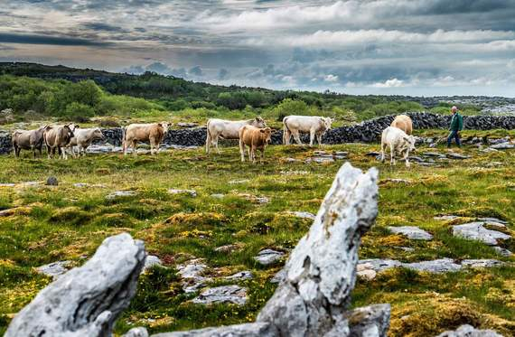 Cattle driving on the Burren in County Clare.