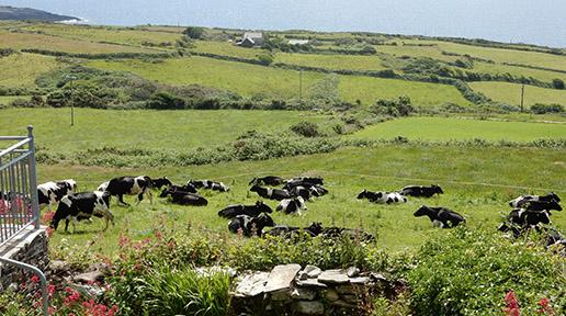 Heard of dairy cows at Black Gate on Dunmanus Bay.